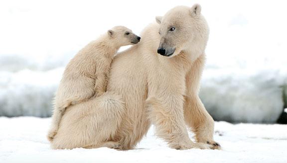 High Arctic wildlife