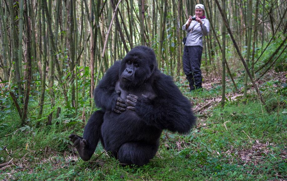 Photographer close to a Silverback Gorilla