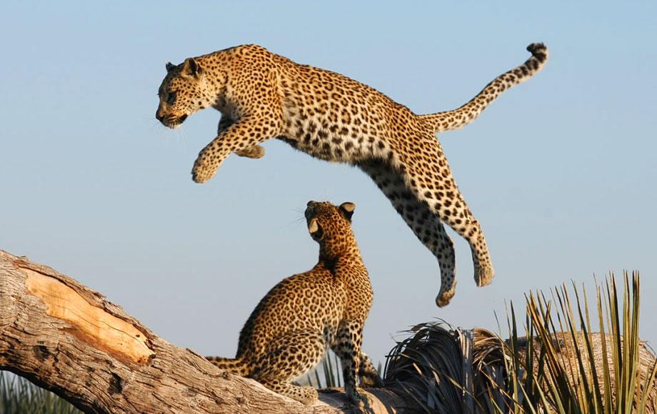 leopard jumping in Botswana and Zimbabwe