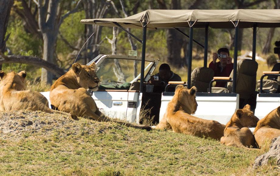 Lion sighting during safari at Bedroom at Desert and Delta Camp Moremi in Bostwana