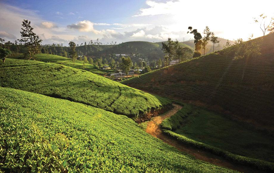 Tea Plantations at Ceylon Tea Trails in Sri Lanka