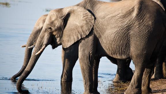 Chobe Safaris