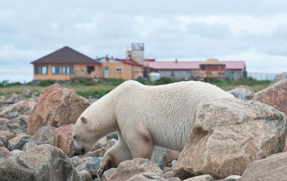 Polar bear viewing at Nanuk in Churchill