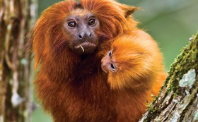 conservation-golden-tamarin