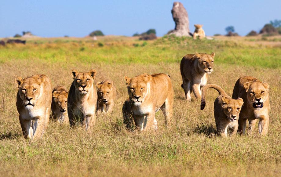 Pride of Lions in Botswana