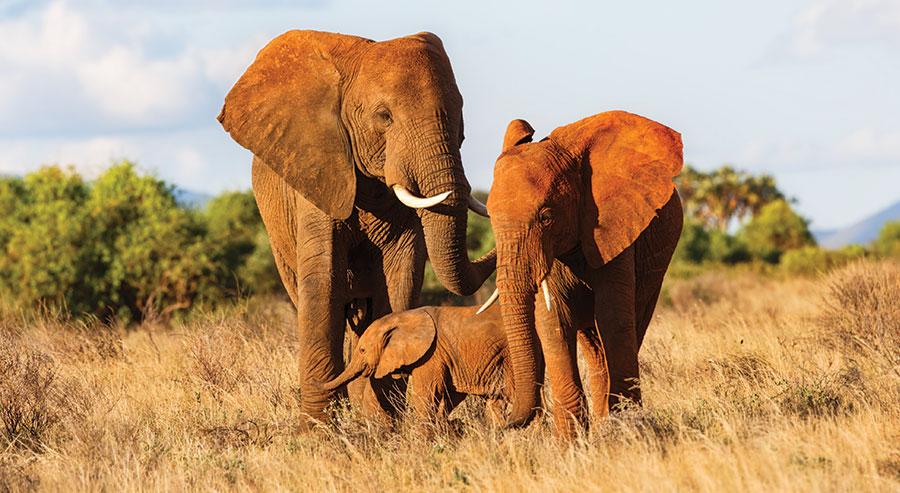Herd of elephants in Kenya