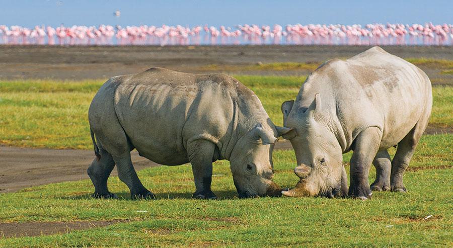 White Rhinos in Kenya