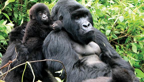 Gorilla and Primates Safari