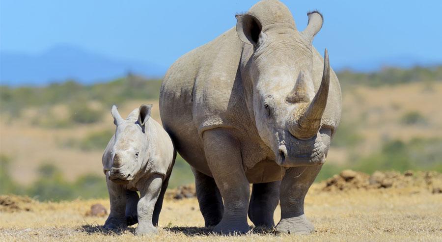 Two white Rhino in Kenya