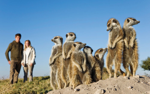 Mob of Meercats in The Kalahari Desert & Makgadikgadi Pans