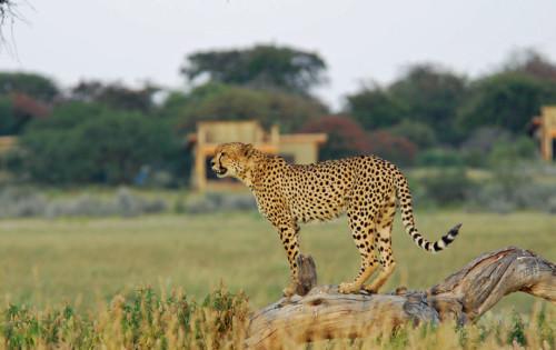Cheetah at Kalahari Plains Camp