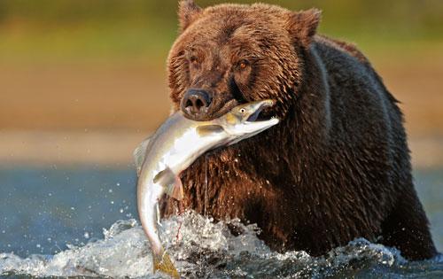 Bear with Salmon at Katmai