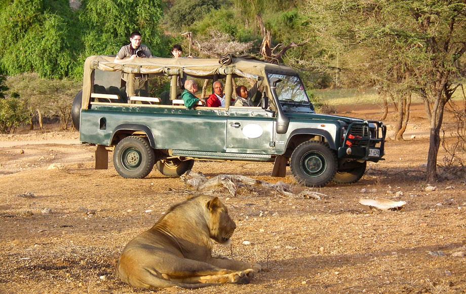 Lion encounter on Safari in Africa