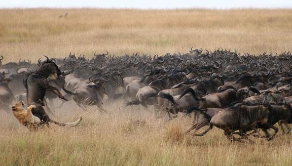 Lion catching wildebeest in Kenya