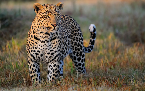 Leopard in the Kruger National Park