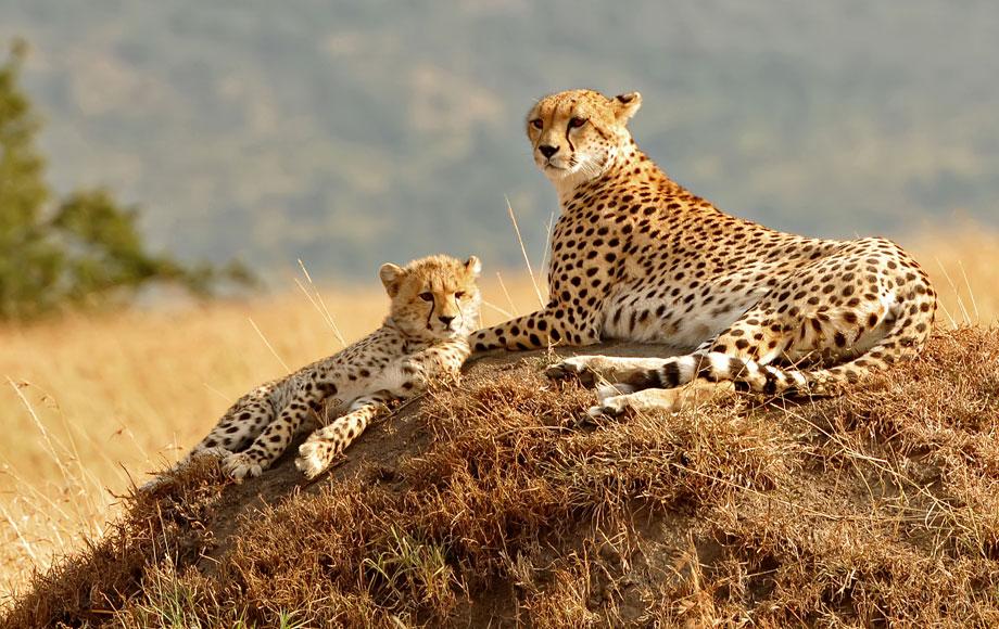 Two cheetahs on a rock in the Masai Mara