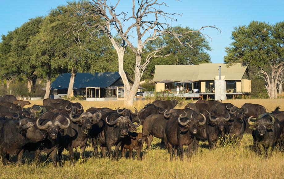Herd of buffalo at Luxury Linkwasha Camp in Hwange National Park, Zimbabwe