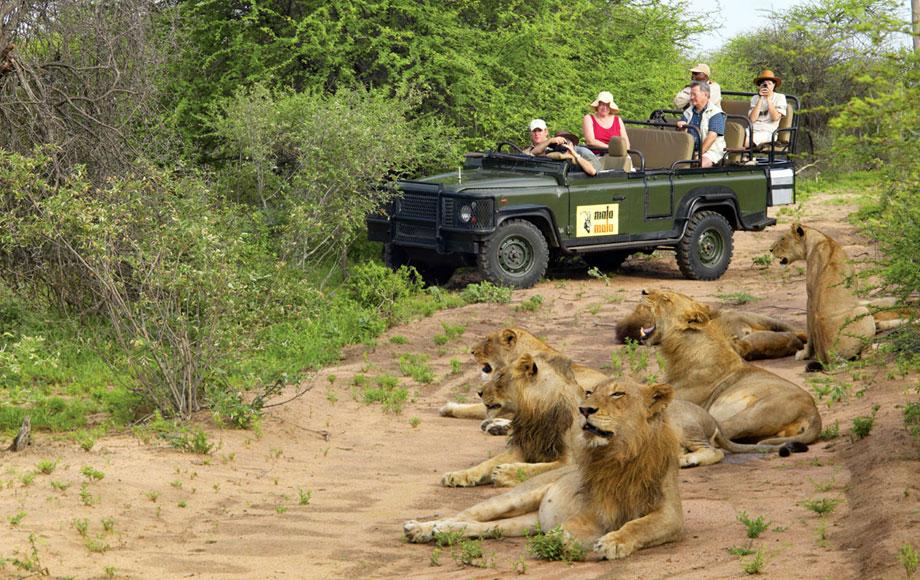 Lion sighting at MalaMala
