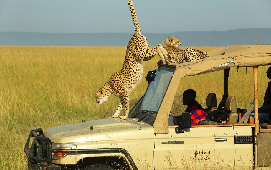 Cheetah on roof of car in Kenya