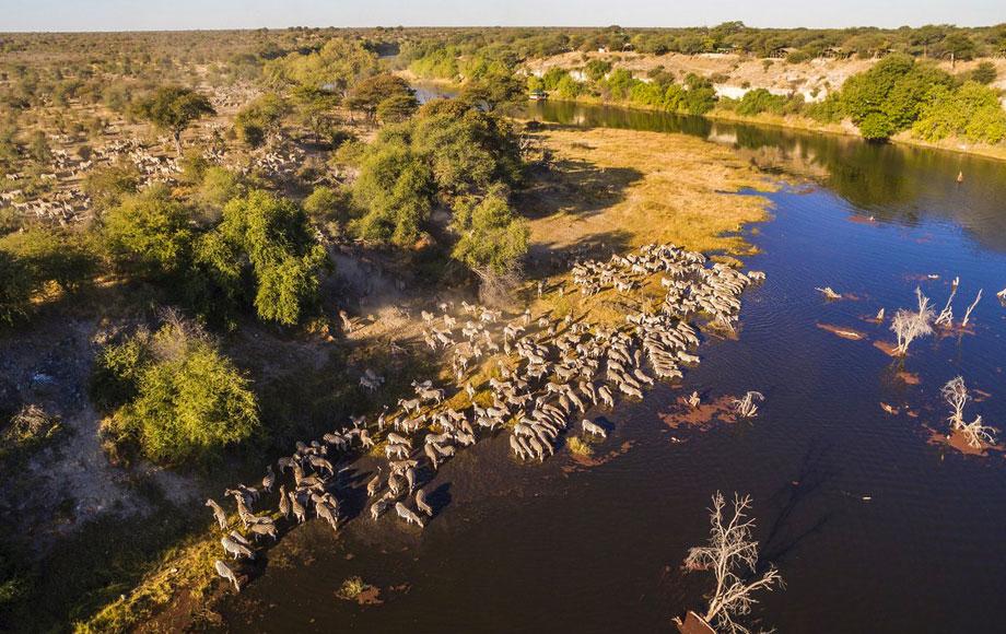 Zebra in the Boteti River