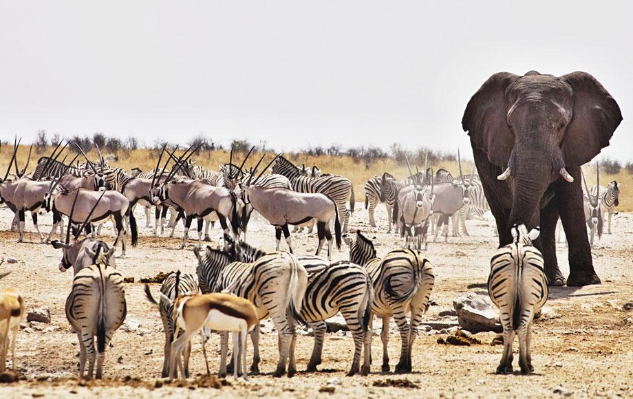 Zebra and elephants in namibia