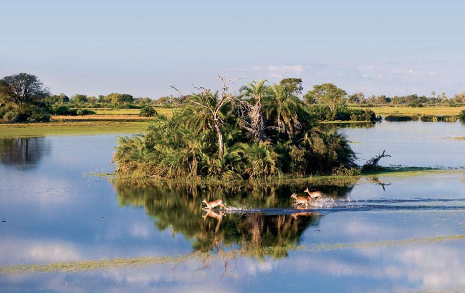 lechwe running through flood plains in the Okavango Delta in Botswana