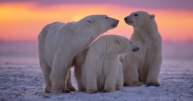 Polar Bears in Canada at Sunset