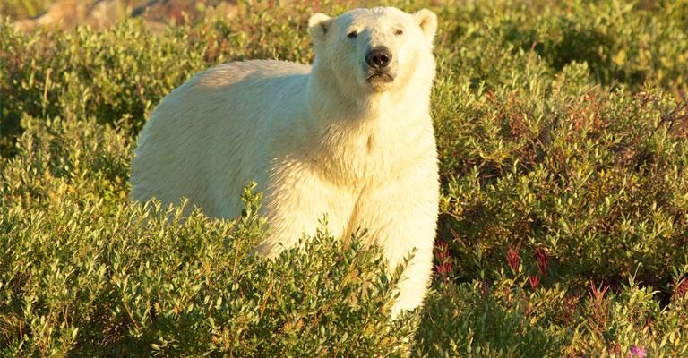 Polar Bears in Summer
