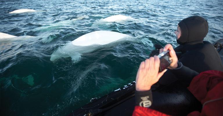 Belugas in Canada