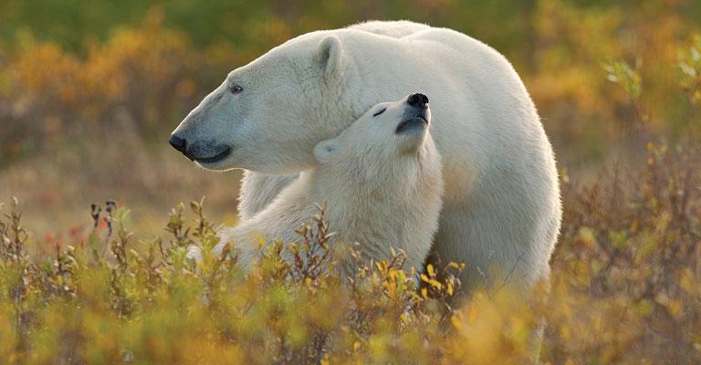 Polar Bears at Hudson Bay