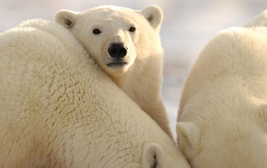 Poalr Bears