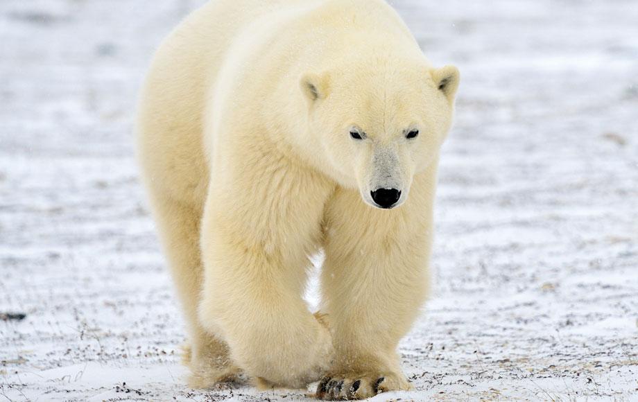 Big Polar Bear in Canada
