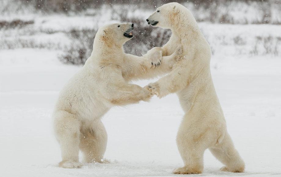 Polar bears fighting in Canada
