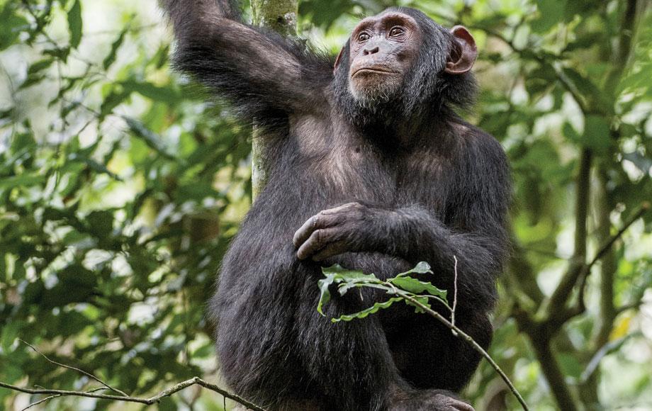 A chimpanzee in Rwanda