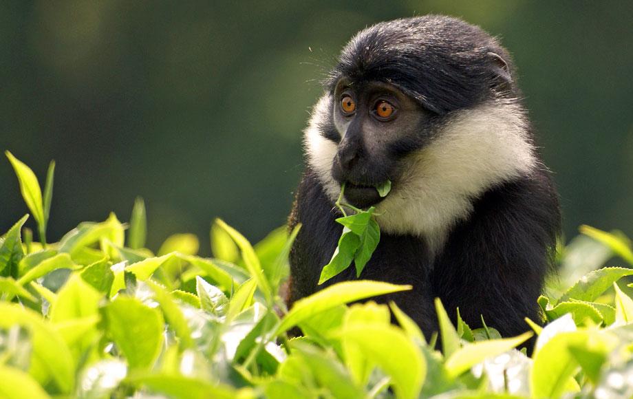 A L'Hoest moneky in Rwanda