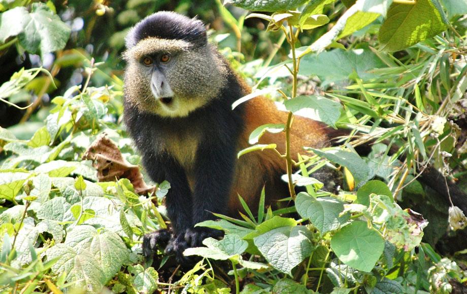 A Golden Monkey at Volcanoes National Park in Rwanda