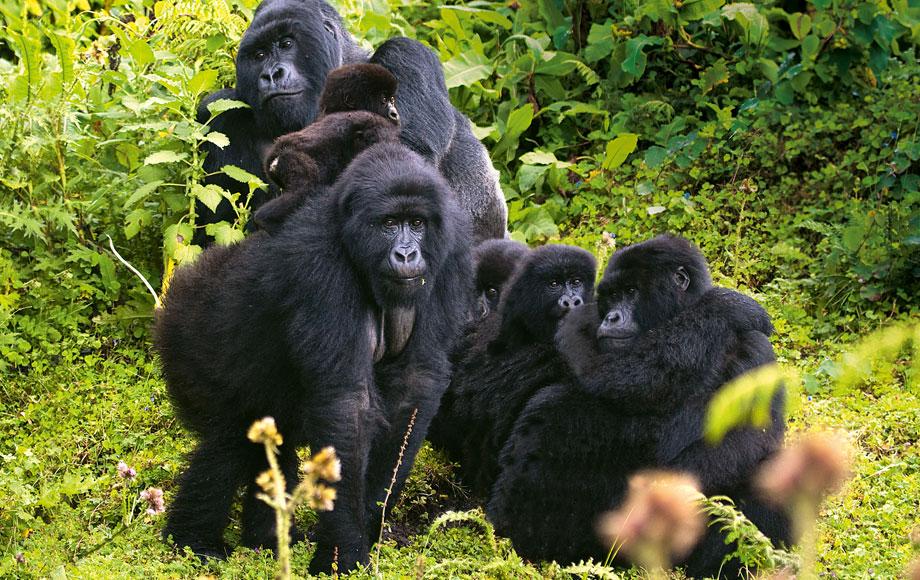 A Troop of Gorillas in Rwanda