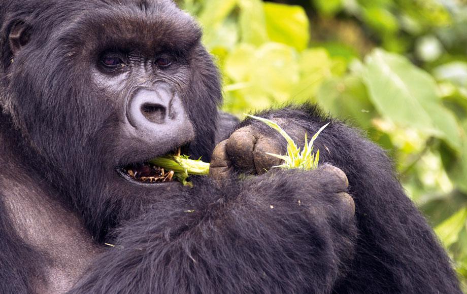 Male silverback gorilla eating in Rwanda
