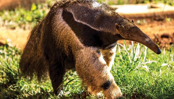 Giant ant eater in Brazil