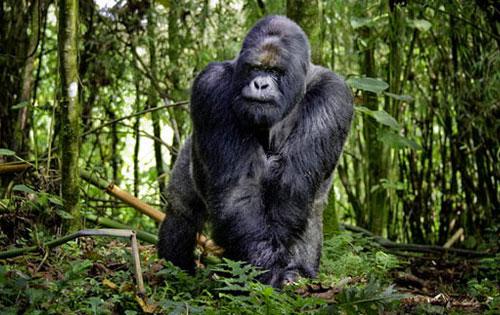 Male silverback gorilla in Rwanda