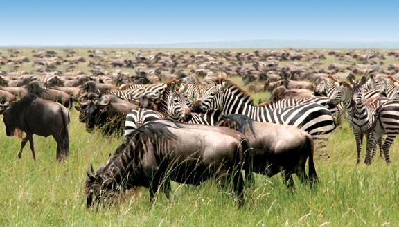 Herd of wildebeest and zebra in Tanzania