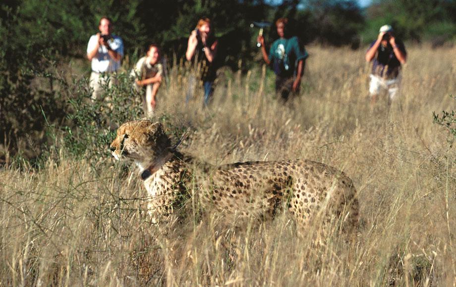 Cheetah encounter during Safari in Namibia