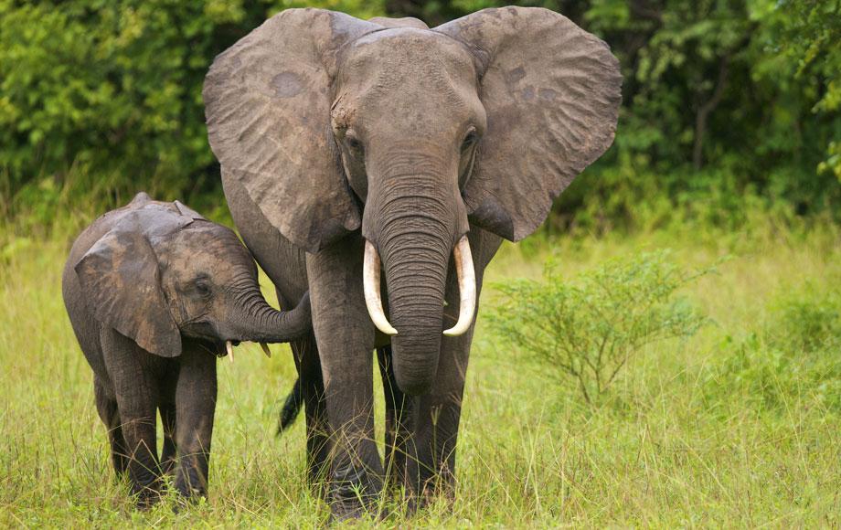 Elephant mum and calf walking in Zambia