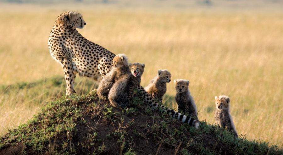 Cheetah and cubs in the Masai Mara in kenya