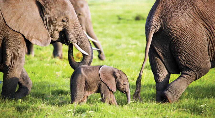 Elephant family in Kenya
