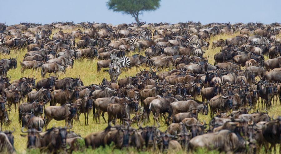Zebra and Wildebeest in Kenya