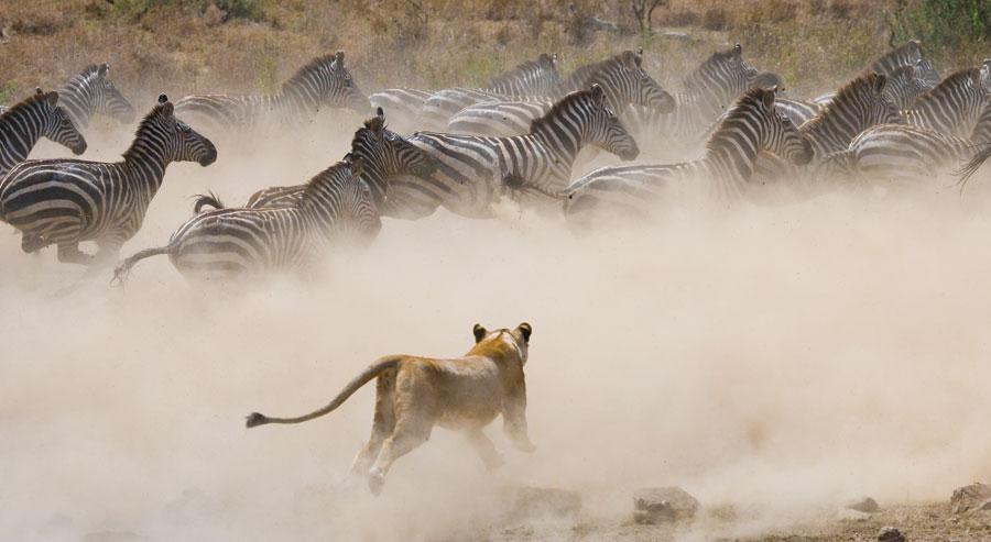 Lion hunting wildebeest in Kenya